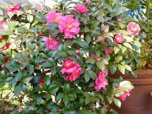 20200130 獅子頭の花が咲きすぎ_a0164068_15335811.jpg