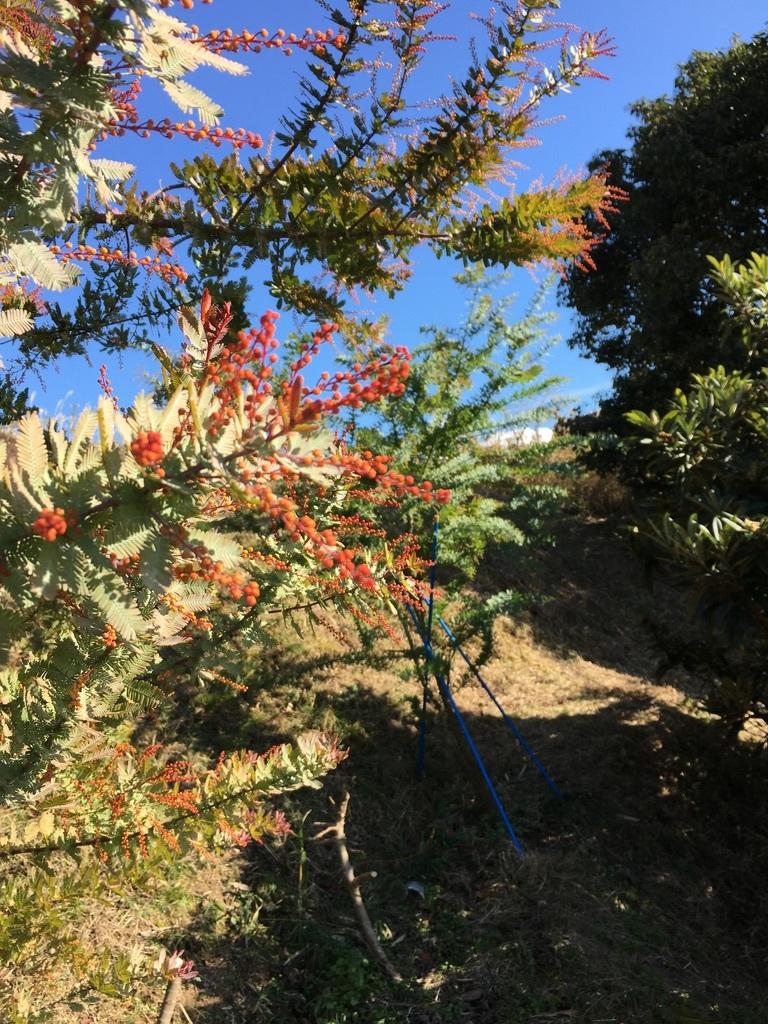 庭に植えた3本のミモザの木 〜フラスコに挿して〜_c0334574_10370348.jpeg