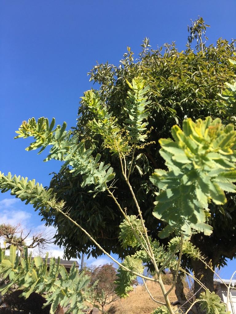 庭に植えた3本のミモザの木 〜フラスコに挿して〜_c0334574_10380794.jpeg