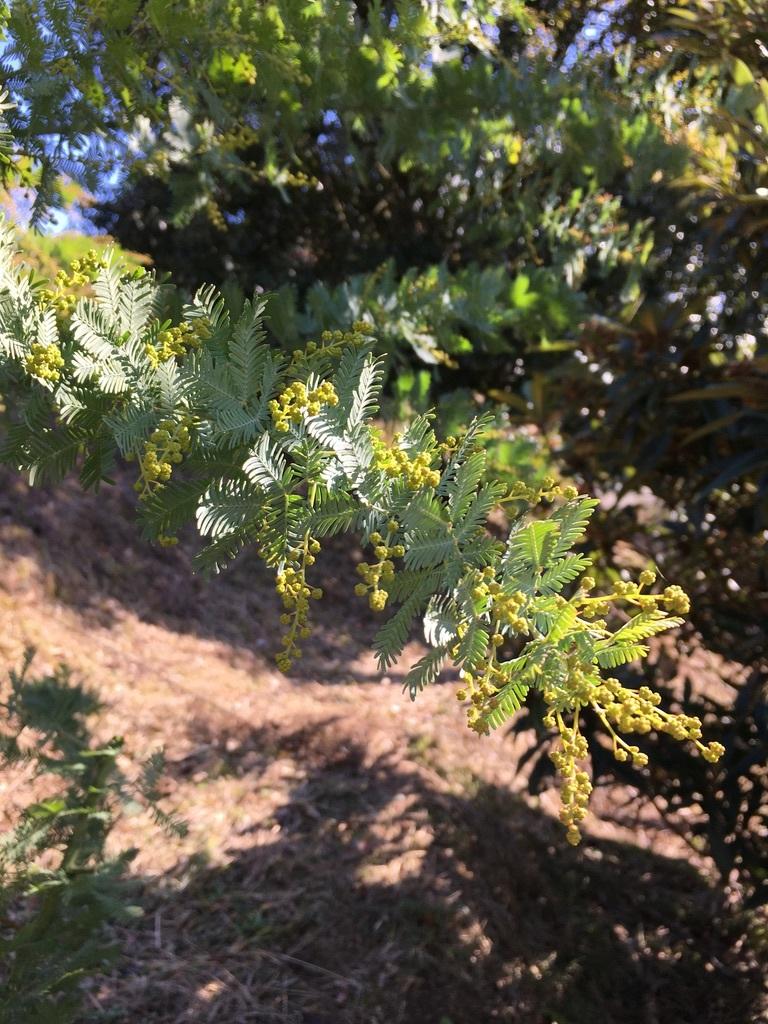 庭に植えた3本のミモザの木 〜フラスコに挿して〜_c0334574_11020064.jpeg
