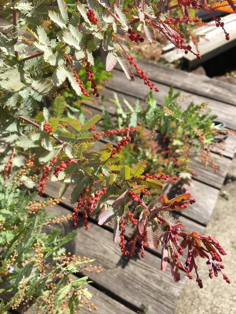 庭に植えた3本のミモザの木 〜フラスコに挿して〜_c0334574_13561168.jpeg