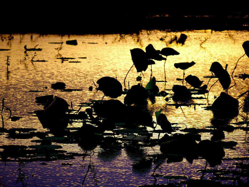 新しい茶園は島につくる A huge reclaimed pond. Create a tea garden in the place that was the pond island._a0391480_21295282.jpg