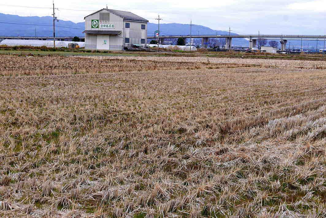 新しい茶園は島につくる A huge reclaimed pond. Create a tea garden in the place that was the pond island._a0391480_21303496.jpg