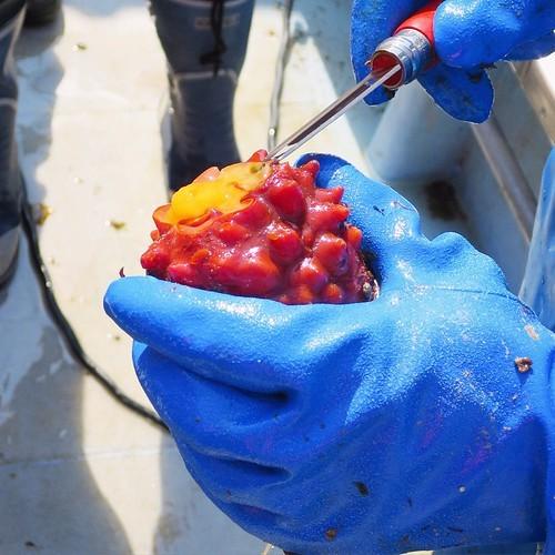 漁船で食べる獲れたてもぎたてのホヤはやっぱり美味かった_c0060143_18231042.jpg