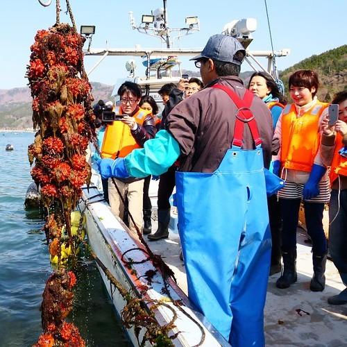 漁船で食べる獲れたてもぎたてのホヤはやっぱり美味かった_c0060143_18231086.jpg