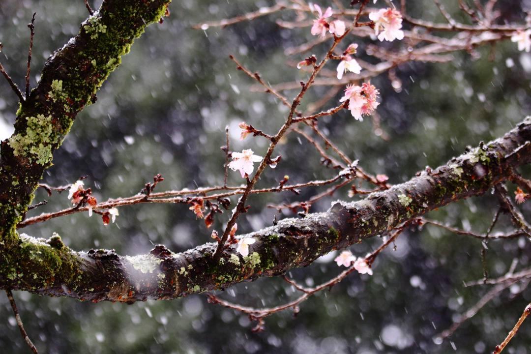 ヤマガラ、冬桜_e0403850_17230459.jpg