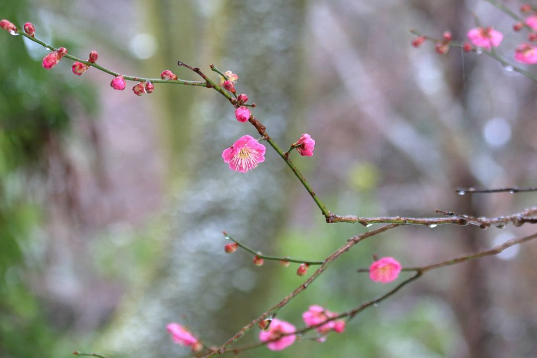 ヤマガラ、冬桜_e0403850_17230475.jpg