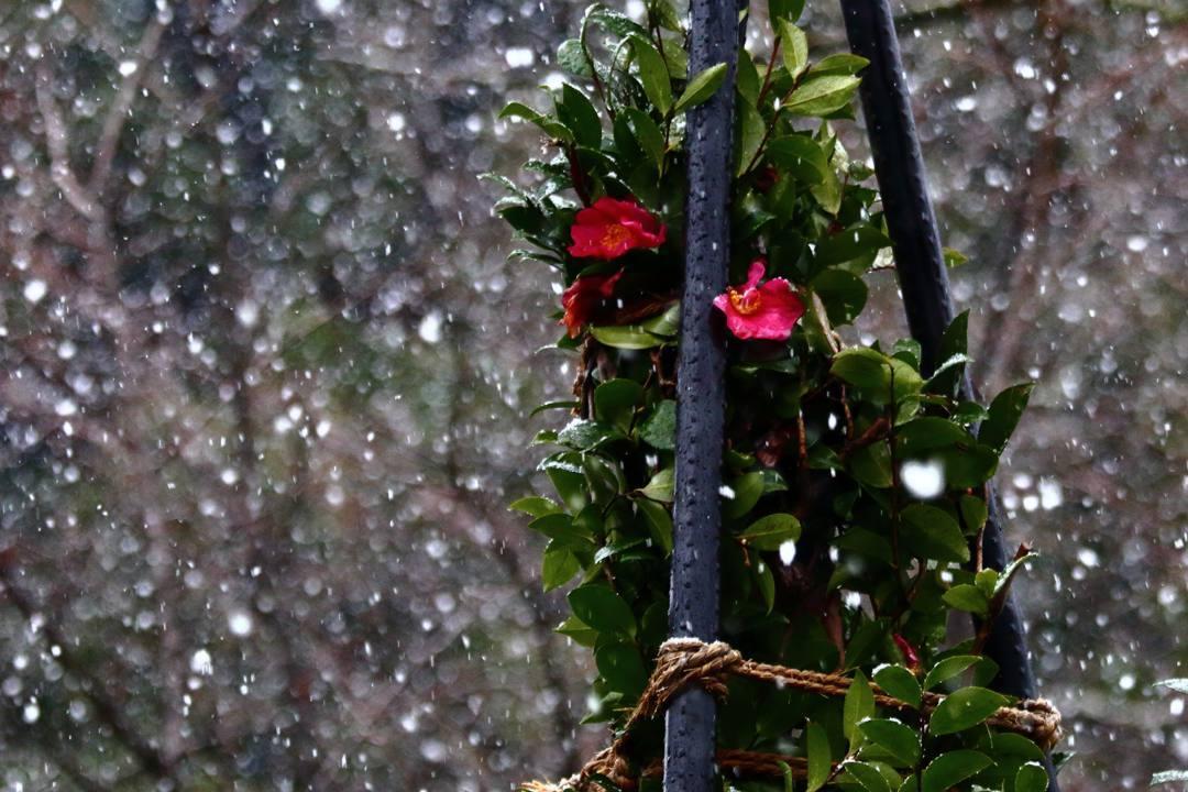 ヤマガラ、冬桜_e0403850_17232052.jpg