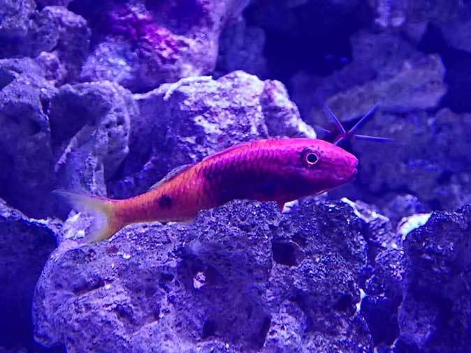 共生する生き物、潜る魚~クマノミとチンアナゴ(アクアパーク品川)_b0355317_13122566.jpg