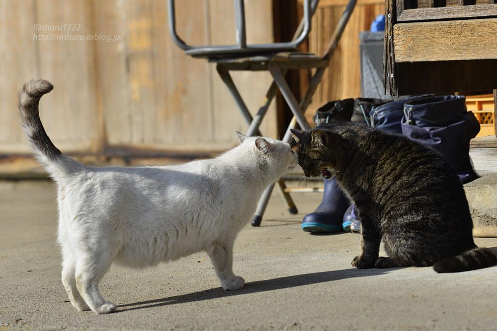 2020.1.14 我が家の猫たち(とらたろう、まお、くぅ)【Cats】_f0250322_22575976.jpg