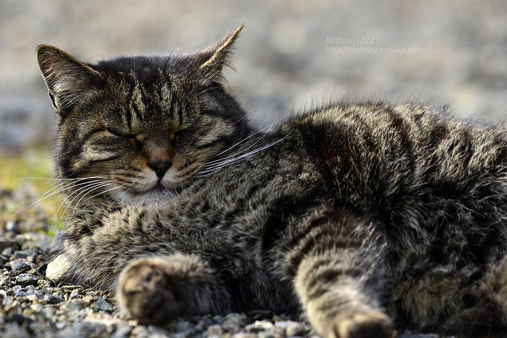 2020.1.14 我が家の猫たち(とらたろう、まお、くぅ)【Cats】_f0250322_2257950.jpg