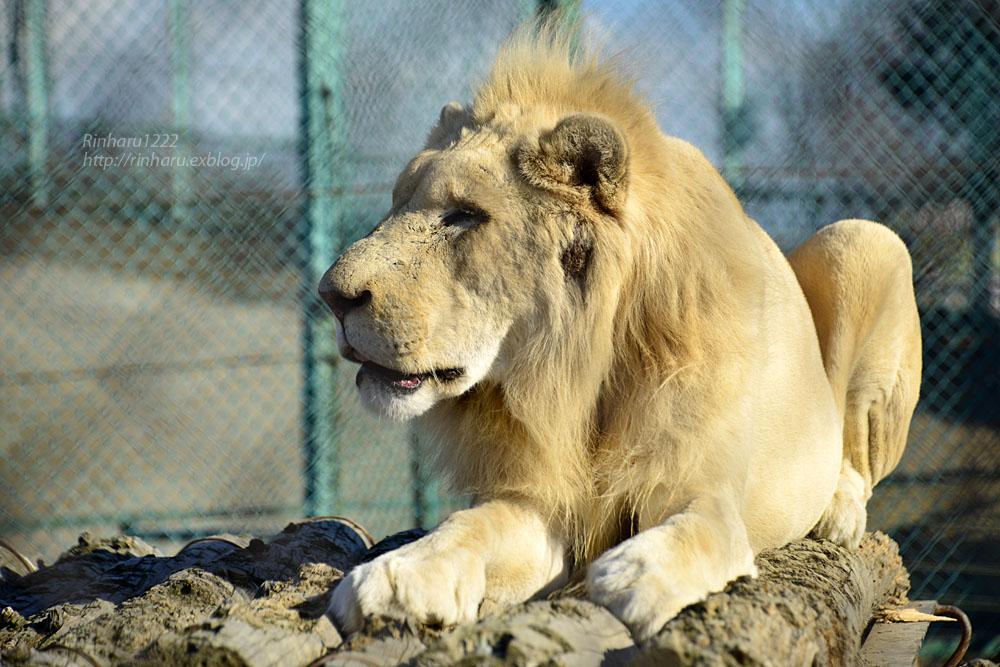 2019.1.13 岩手サファリパーク☆ホワイトライオンのシュンとライデン【White lions】_f0250322_23265949.jpg
