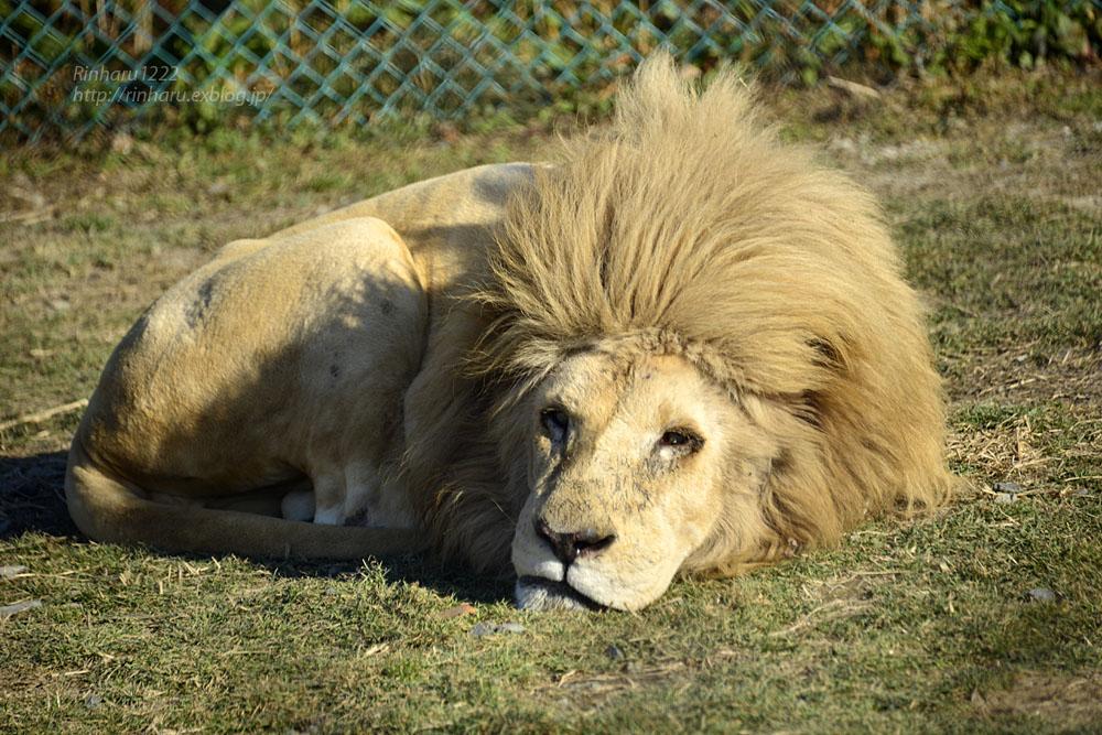 2019.1.13 岩手サファリパーク☆ホワイトライオンのシュンとライデン【White lions】_f0250322_23271684.jpg