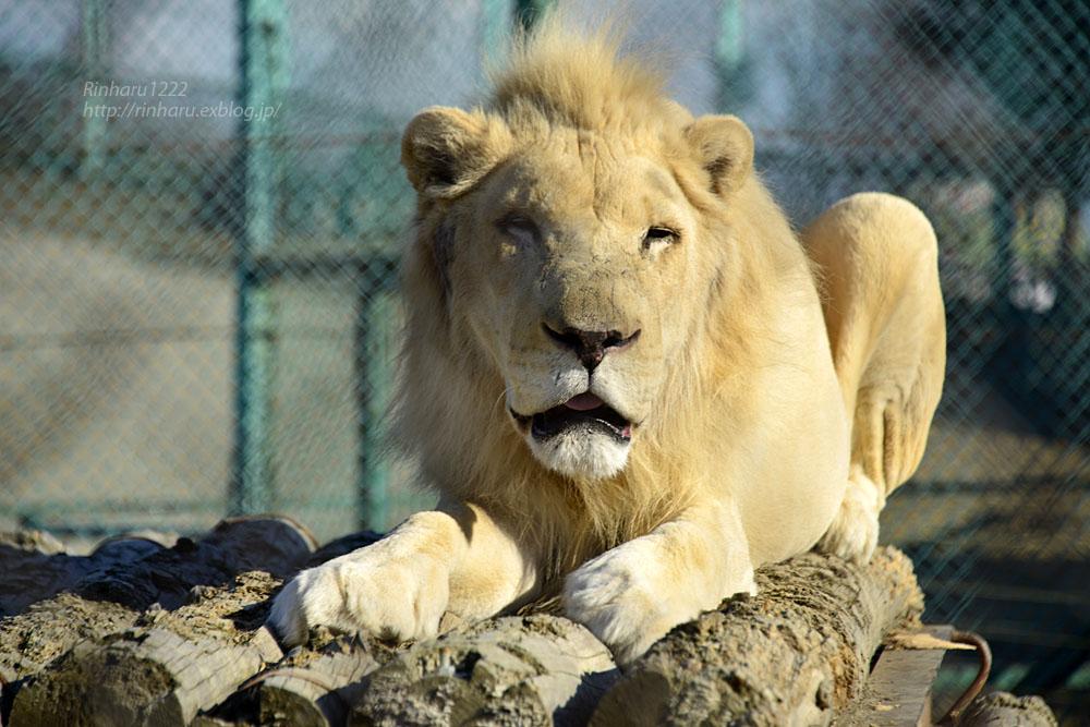 2019.1.13 岩手サファリパーク☆ホワイトライオンのシュンとライデン【White lions】_f0250322_2327834.jpg