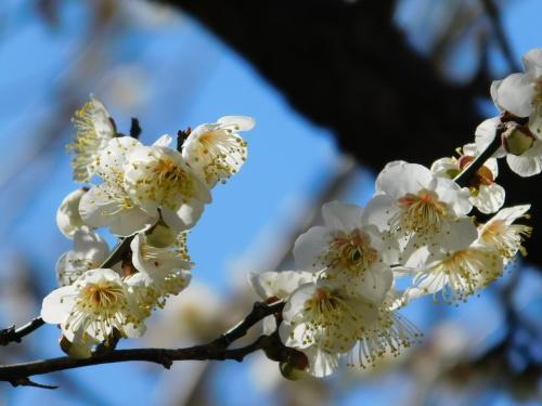 (世田谷の)梅は咲いたぞ、(調布の)サクラも咲いた(早咲き桜)、つくしも出てきた_c0338136_17154115.jpg