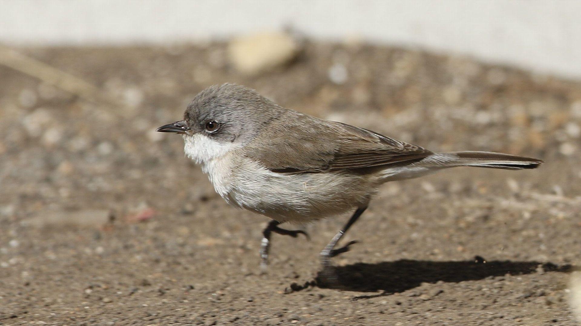 2度目の珍鳥:コノドジロムシクイ_f0105570_16384293.jpg