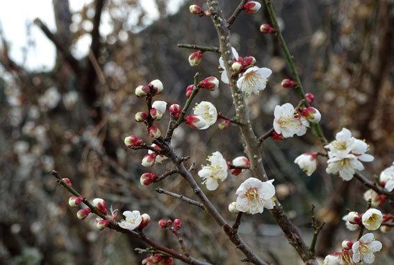 ウメの花を見ると春近し_b0145296_14025606.jpg