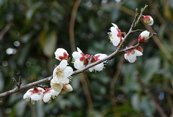 ウメの花を見ると春近し_b0145296_14025997.jpg
