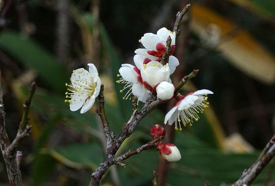 ウメの花を見ると春近し_b0145296_14030280.jpg