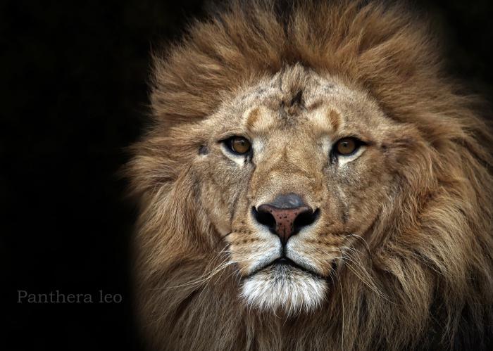 ライオン:Lion_b0249597_06470711.jpg