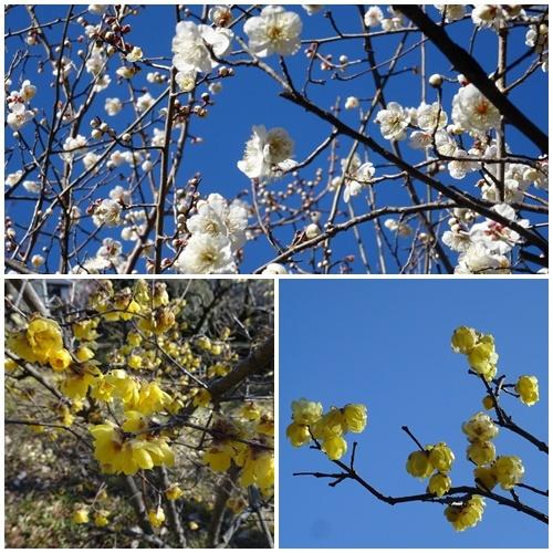 二月になってしまいました。  多摩丘陵百草園ウォーキング_c0051105_22451620.jpg