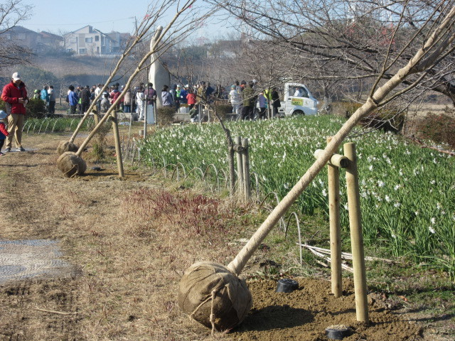 住民参加による八重桜の植樹_d0247833_17291058.jpg