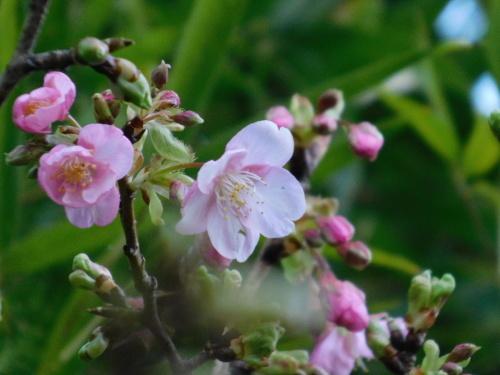 (世田谷の)梅は咲いたぞ、(調布の)サクラも咲いた(早咲き桜)、つくしも出てきた_c0338136_21394495.jpg