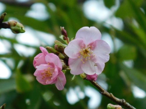 (世田谷の)梅は咲いたぞ、(調布の)サクラも咲いた(早咲き桜)、つくしも出てきた_c0338136_21400292.jpg
