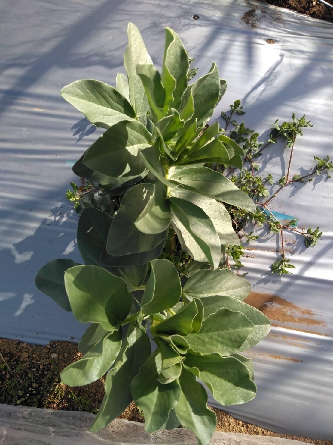 今朝は芽キャベツの剪定から・・・・_c0222448_13382456.jpg