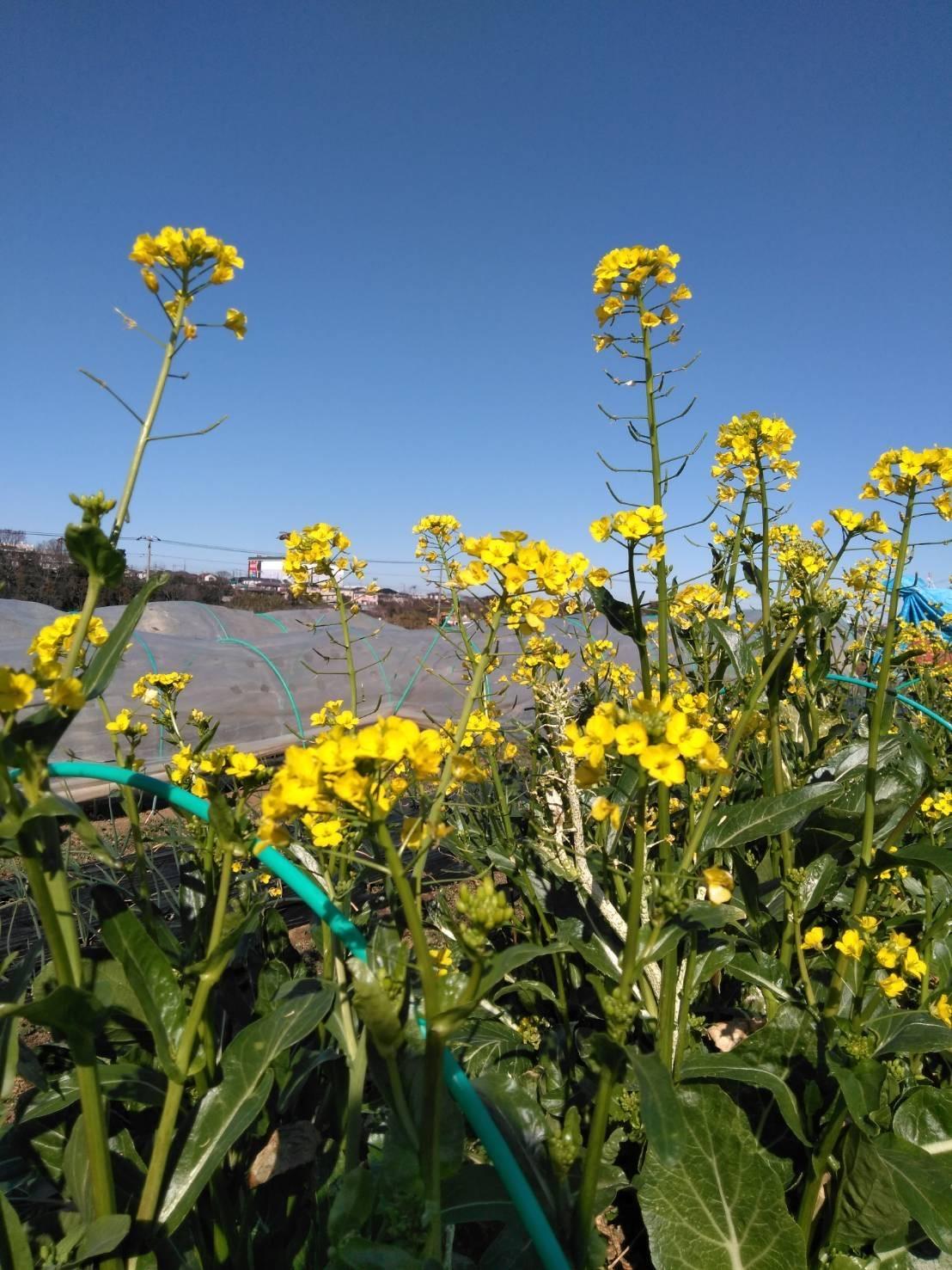 今朝はブロッコリーの脇芽&アスパラ菜の花中心に収穫です_c0222448_13394796.jpg