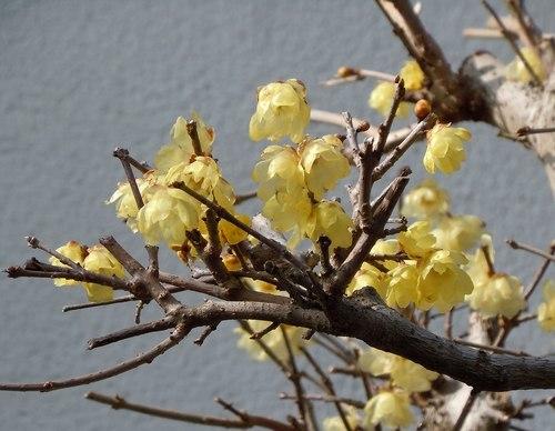 路傍の花、樹々の鳥(367) ~ 臘梅が咲きました ~_b0102572_18050682.jpg