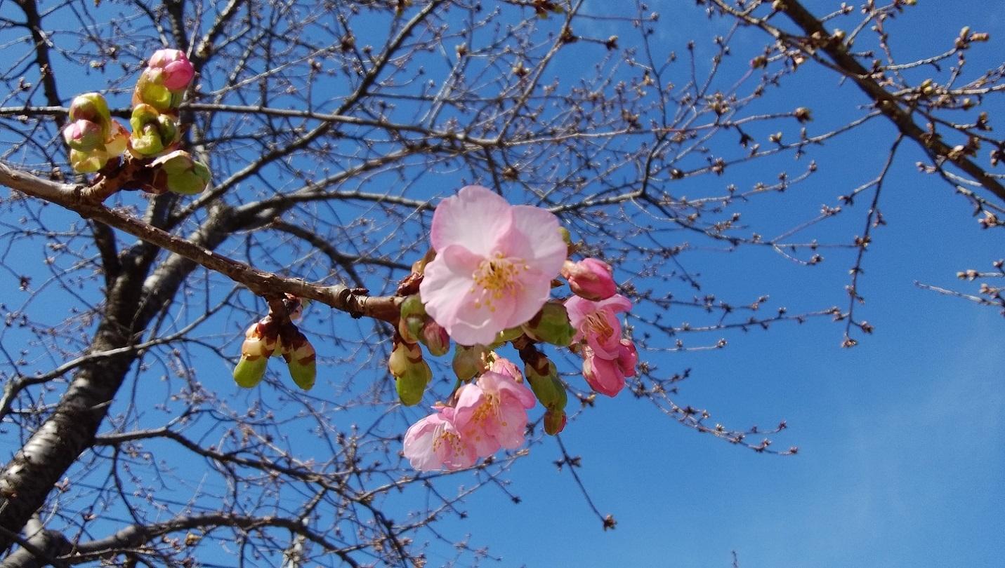 河津桜初咲き_a0107574_15471639.jpg