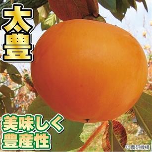 完全甘柿の新品種「大豊」の植え付け_f0018078_18270179.jpg