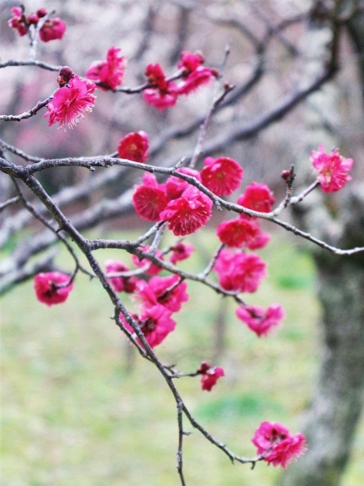 梅で華やぐ如月_a0147281_14260258.jpg