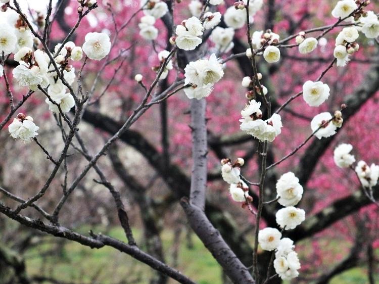 梅で華やぐ如月_a0147281_14260894.jpg