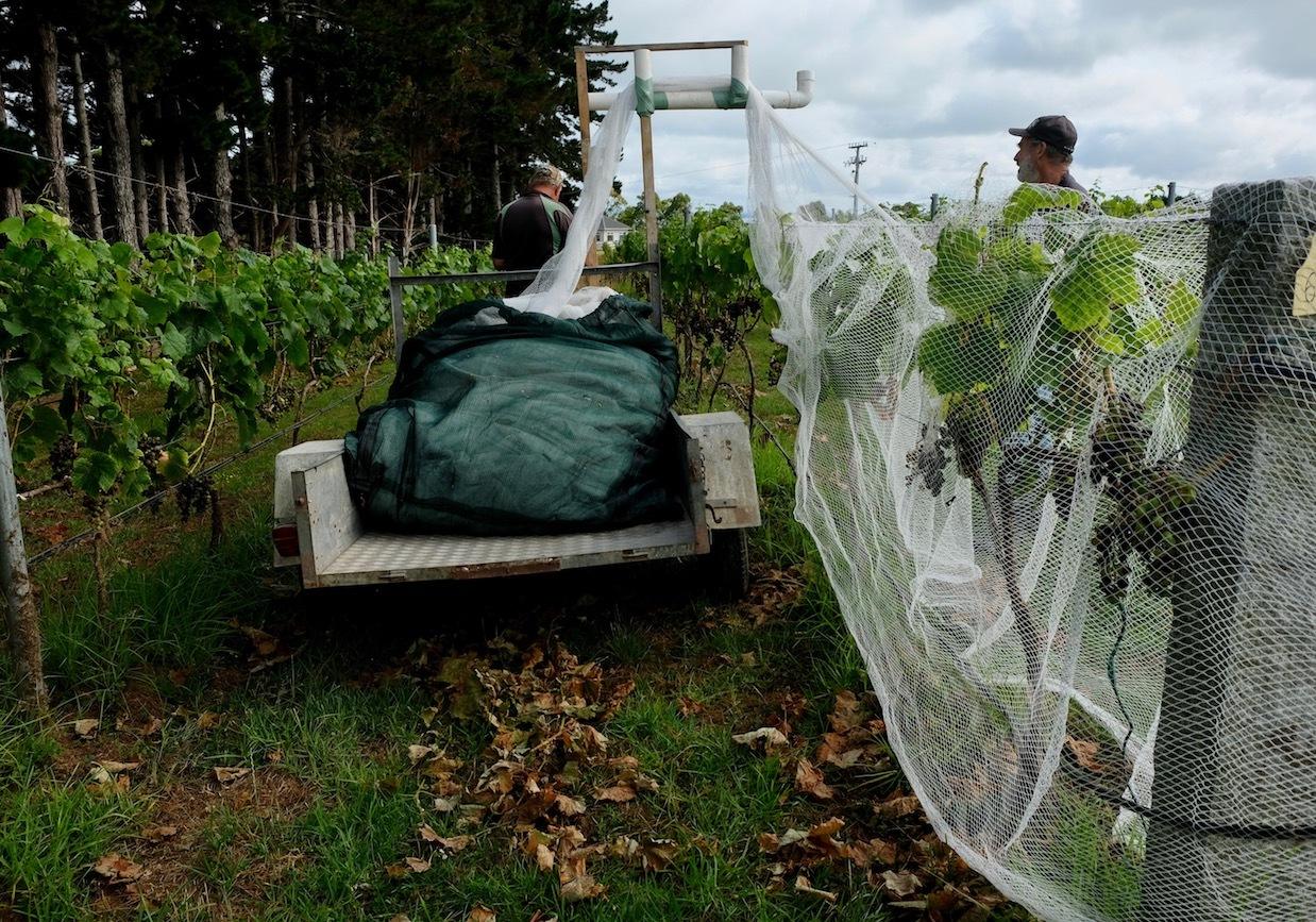 ワイン葡萄に鳥避けネットをかけました/ Started Netting The Vines_e0310424_18550729.jpg