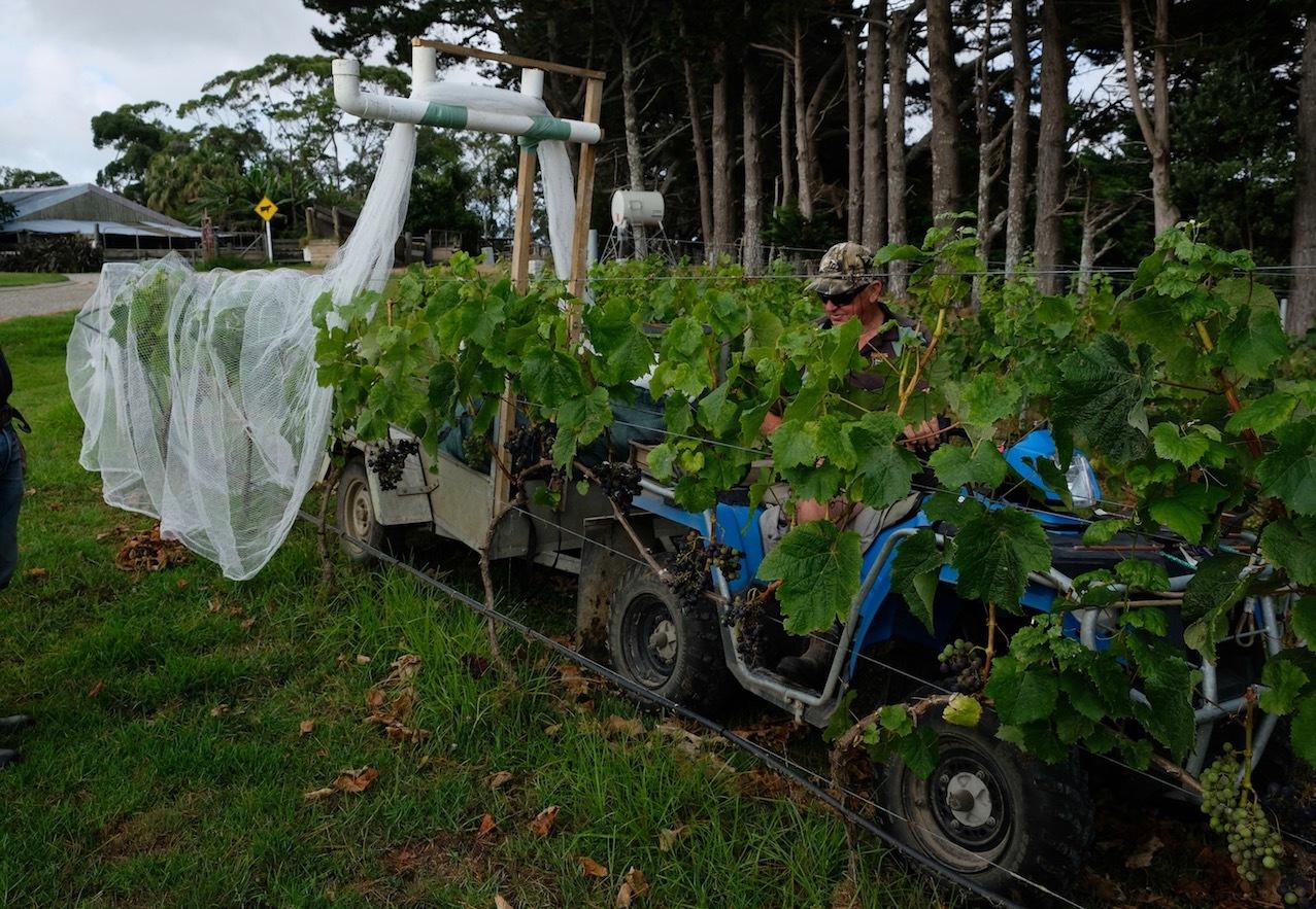 ワイン葡萄に鳥避けネットをかけました/ Started Netting The Vines_e0310424_18552393.jpg