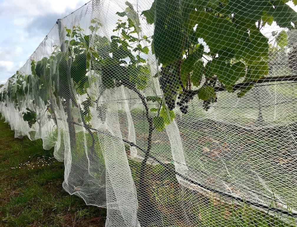 ワイン葡萄に鳥避けネットをかけました/ Started Netting The Vines_e0310424_18555292.jpg