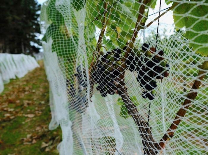 ワイン葡萄に鳥避けネットをかけました/ Started Netting The Vines_e0310424_18555831.jpg