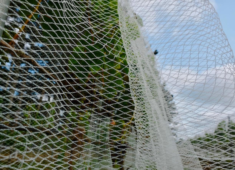 ワイン葡萄に鳥避けネットをかけました/ Started Netting The Vines_e0310424_18560501.jpg