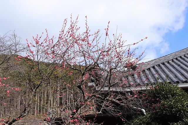 長楽寺の紅梅満開(その1)(撮影:1月31日)_e0321325_20052715.jpg
