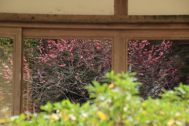 長楽寺の紅梅満開(その1)(撮影:1月31日)_e0321325_20060822.jpg