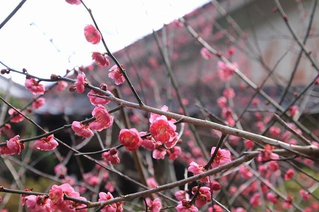 長楽寺の紅梅満開(その1)(撮影:1月31日)_e0321325_20065491.jpg