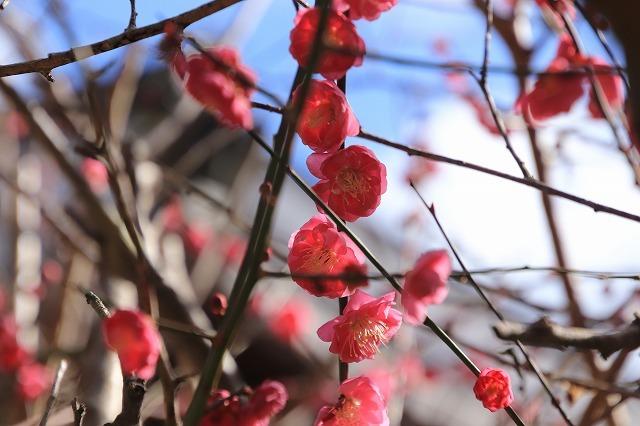 長楽寺の紅梅満開(その1)(撮影:1月31日)_e0321325_20070891.jpg