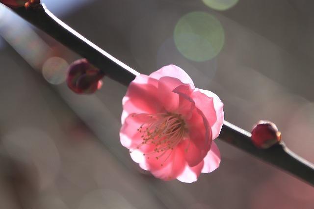 長楽寺の紅梅満開(その1)(撮影:1月31日)_e0321325_20071958.jpg