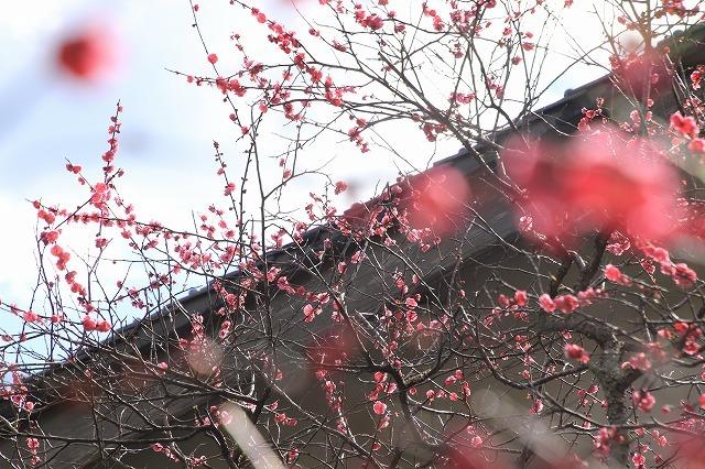 長楽寺の紅梅満開(その1)(撮影:1月31日)_e0321325_20073108.jpg