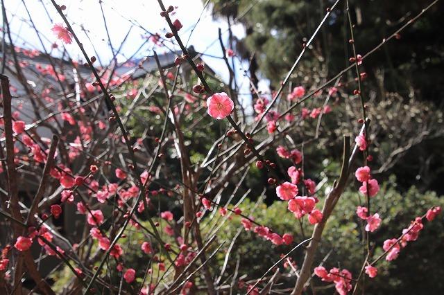 長楽寺の紅梅満開(その1)(撮影:1月31日)_e0321325_20074275.jpg