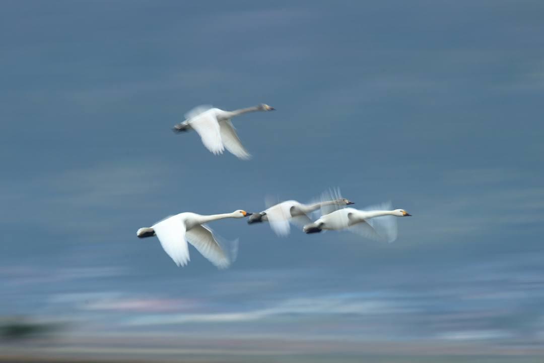 スローシャッターの白鳥_e0403850_21510820.jpg