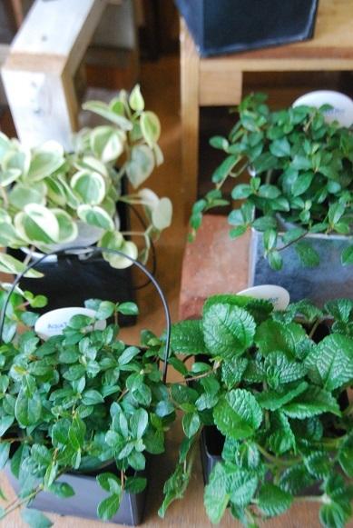 観葉植物を楽しむ_a0201358_16363052.jpg