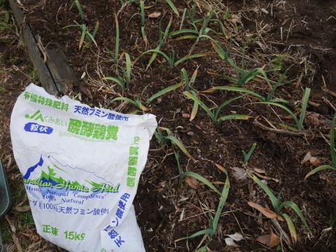 灰など撒き、ジャガイモとサトイモの植え付け準備2・2_c0014967_21093180.jpg